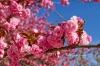 The Cherry blosom genus prunus serrulata at the Jardin des Plantes