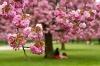 Pink Sakura cherry blossom in Parc de Sceaux