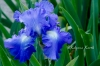 Iris of Bagatelle
