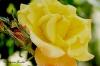 The roses of  L'Haÿ les Roses