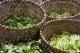 Baskets of green vegetables in Old Shanghai market