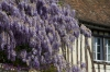 Hanging Wisteria in spring time