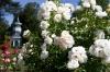 The rose garden of Bagatelle, Paris France