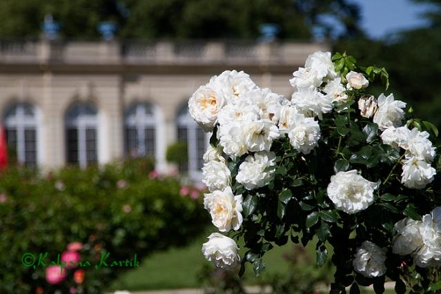 The rose garden of Bagatelle