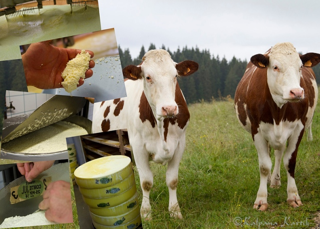 Montbéliard cows  grazing the Alpine pastures and the process of cheese making cooperative style in the Jura mountains