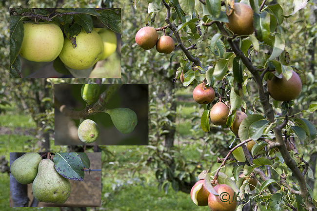 The various species of apples pears and figs
