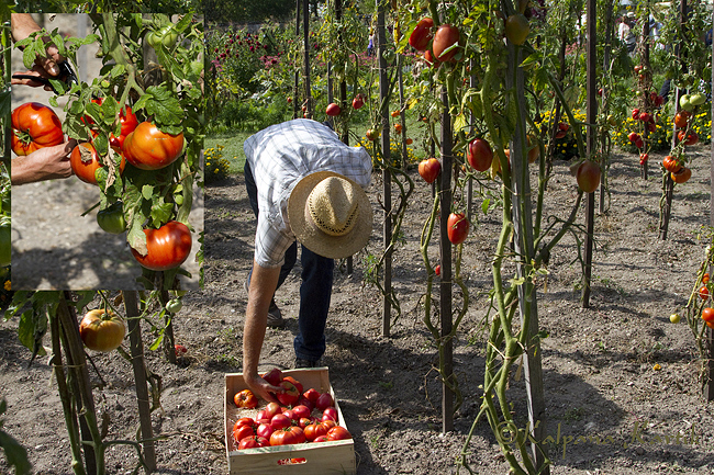 Picking tomatoes from the vegetable patch