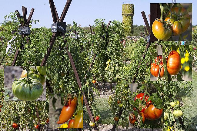 The tomato garden at the Château de la Bourdaisière