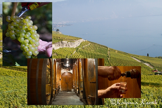 Chasselas grapes and Lavaux vineyards