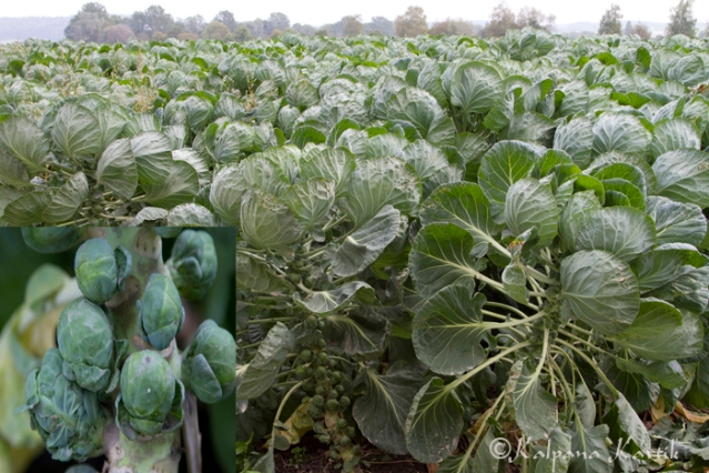 Brussels sprouts cultivated in the vegetable garden in Seeland