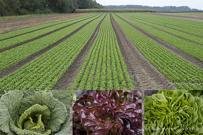 Cabbages and salads grown in the vegetable garden