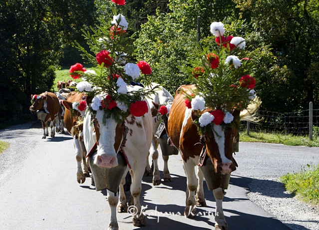 Decorated cows parade the streets of Charmey during the cattle descent festival