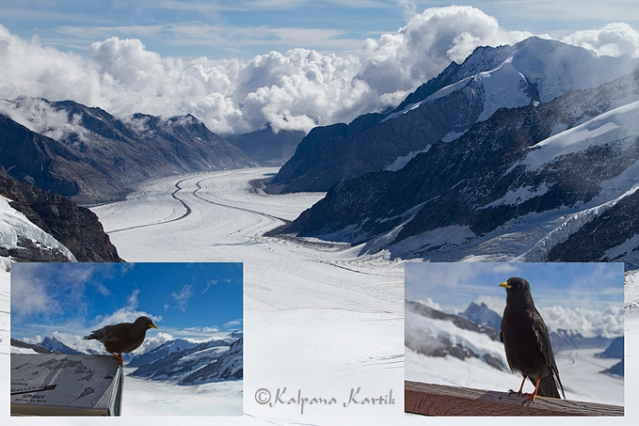 Alpine choughs with Aletsch glacier at the background seen from the Sphinx