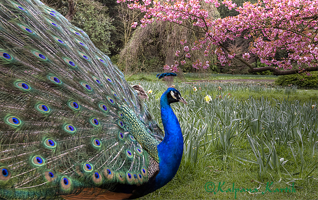 Peacock in cherry blossoms at the Bagatelle gardens