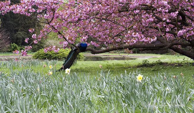 Peacocks of Bagatelle gardens