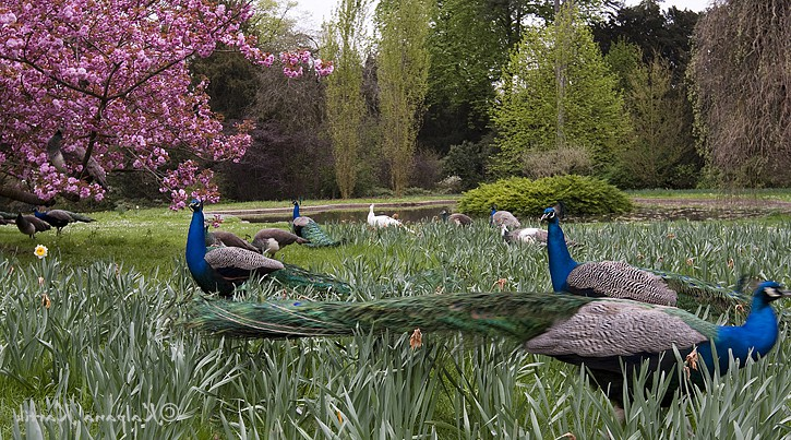 Peacocks at the Bagatelle gardens in Paris