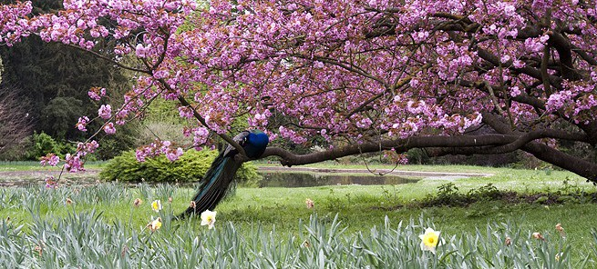 Peacocks in cherry blossoms