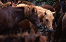 The small sandalwood horses from the island of Sumba