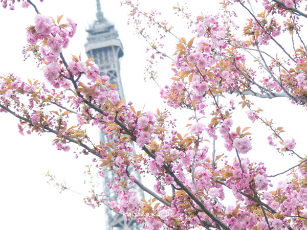 Cherry Blossoms inParis