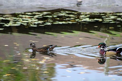 Female/Male wood ducks