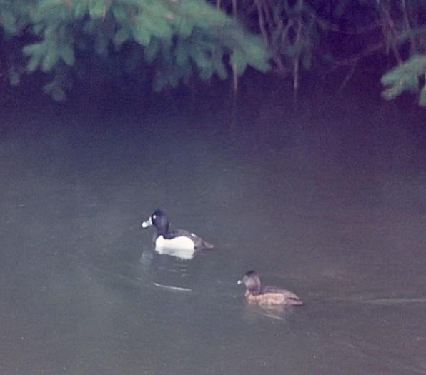 ring neck ducks