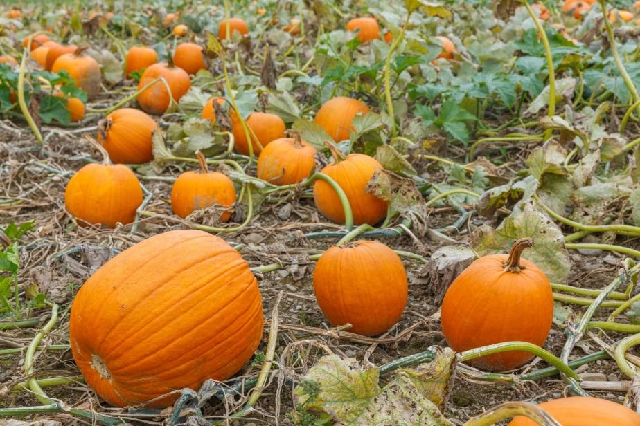 pumpkin-patch-14765351574Vk