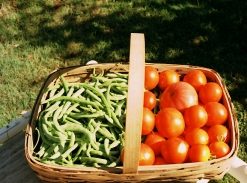 F Harvest beans & tomatoes