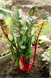 F red chard from Ilene's garden