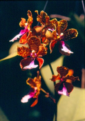 Wild orchid #1.